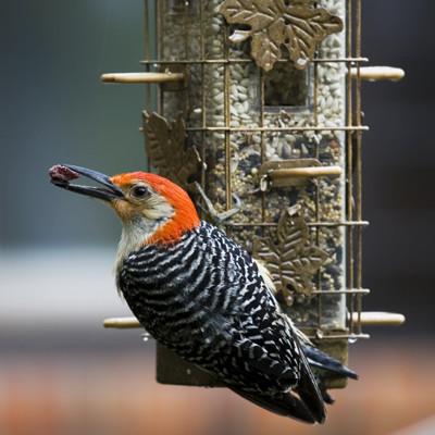 woodpecker on bird feeder with seed in mouth