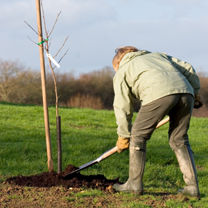 Planting Fruit Tree
